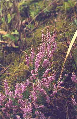 Верас / Вереск / Heather / Calluna